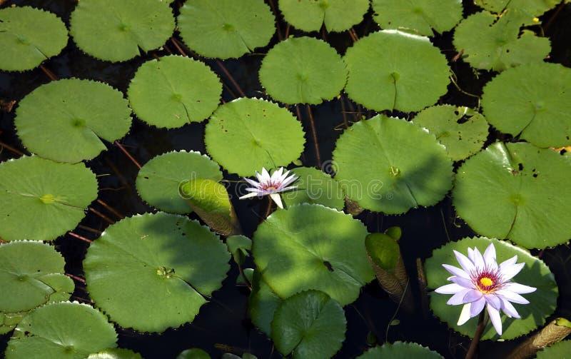 百合池塘2 库存图片