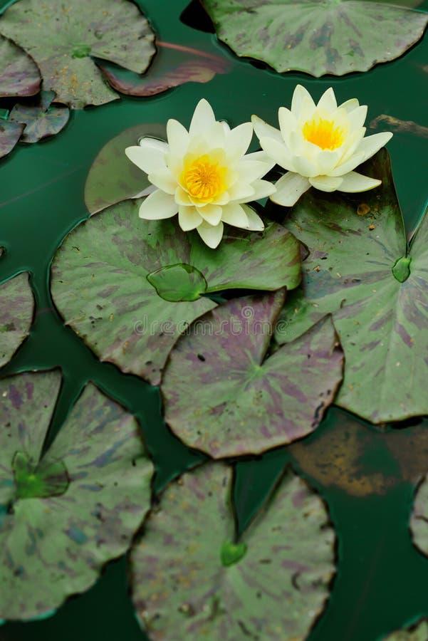 Download 百合浇灌黄色 库存照片. 图片 包括有 浪漫, waterlily, 百合, 池塘, 深深, waterhole - 72354096