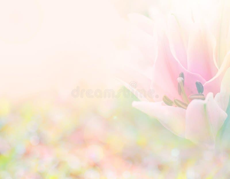 从百合的抽象软的甜桃红色花背景开花 库存照片