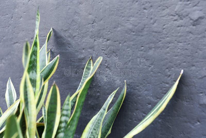 百合科植物-背景的装饰植物 免版税库存照片