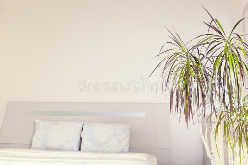 百合科植物trifasciata或蛇植物的居家和庭院概念在卧室 免版税图库摄影