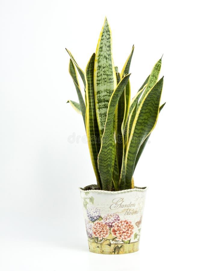 百合科植物trifasciata或蛇植物罐的在一白色backgro 库存图片