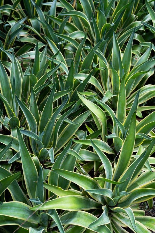 百合科植物Trifasciata美丽的绿色叶子  库存照片