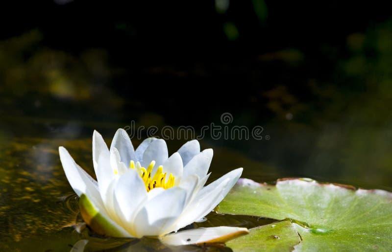 百合花在水中,打开捉住罪孽光 库存图片