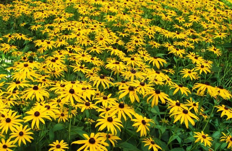 百合花的领域在庭院里 免版税图库摄影