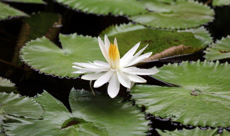百合花loto白色弗洛尔de loto beautful颜色 免版税库存照片
