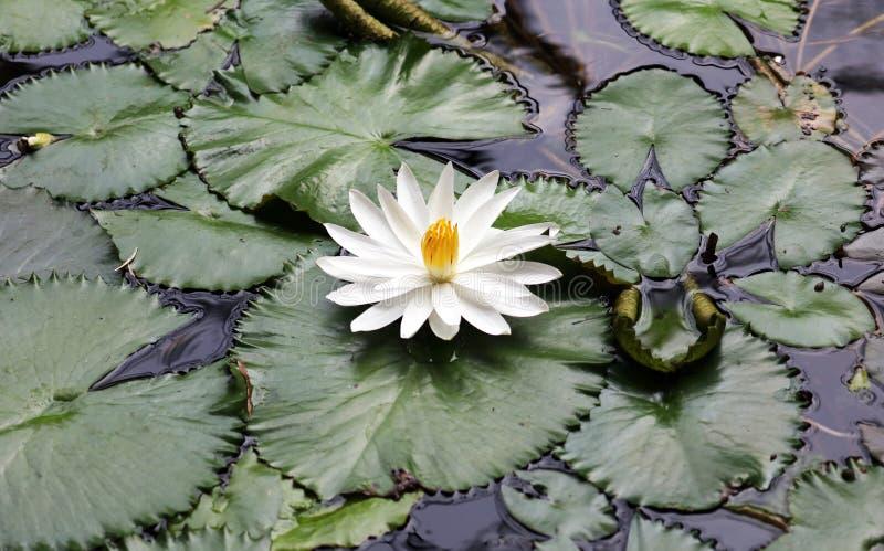 百合花loto白色弗洛尔de loto beautful颜色 免版税库存图片