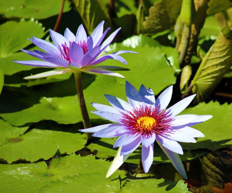 百合花loto紫色弗洛尔de loto beautful颜色 库存图片