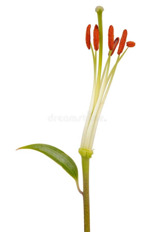 百合雄芯花蕊和雌蕊特写镜头在白色背景 免版税库存照片