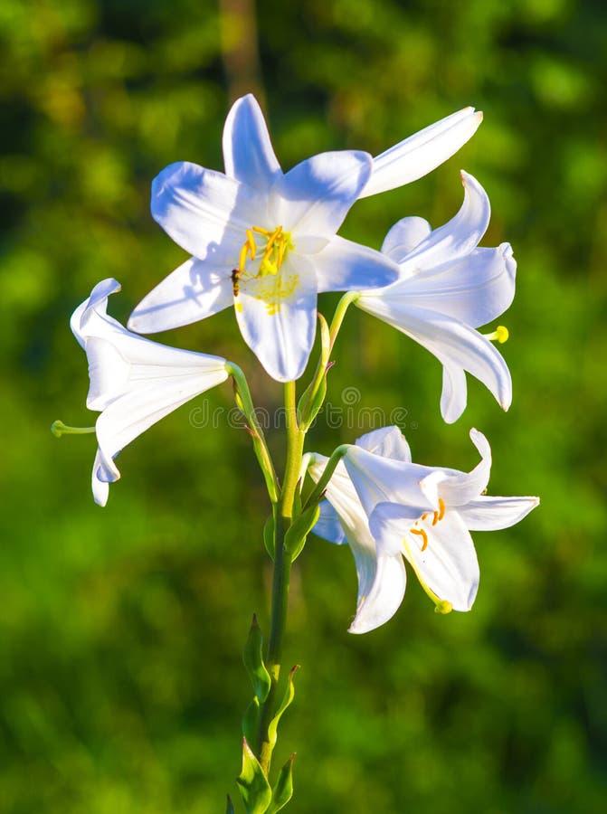 百合 圣母百合,花反弹,在白色,白花的百合, 库存照片