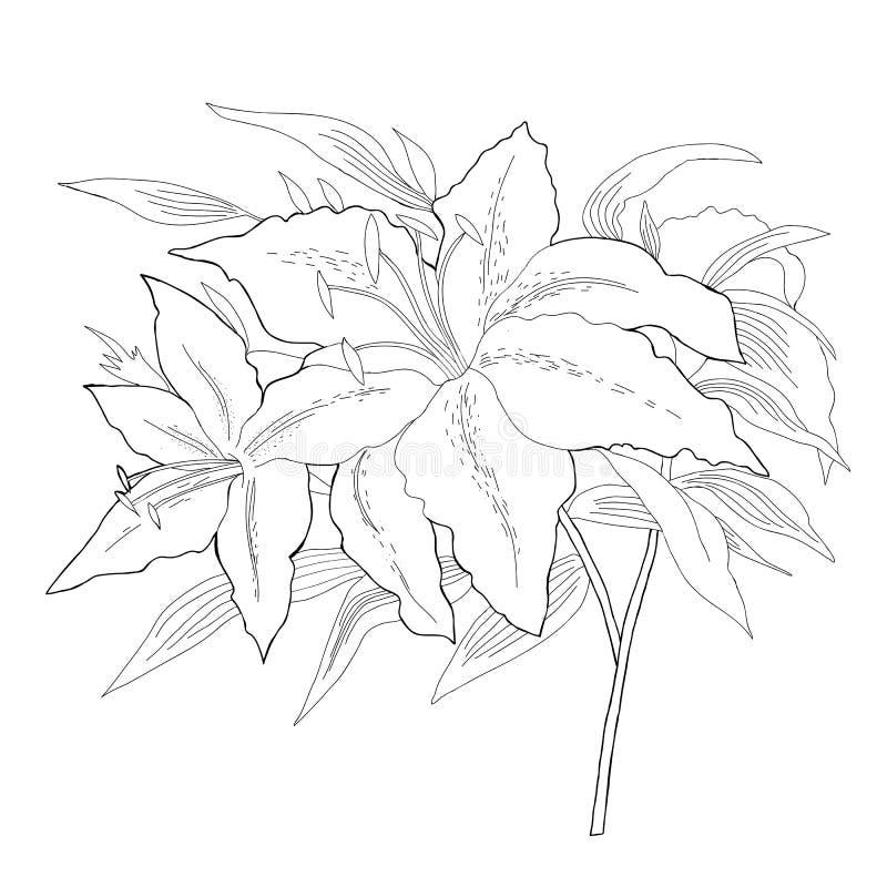 百合 黑白的Amaryllis.Sketch 向量例证