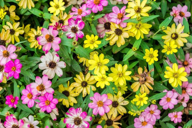 百日菊属五颜六色绽放的花 库存照片