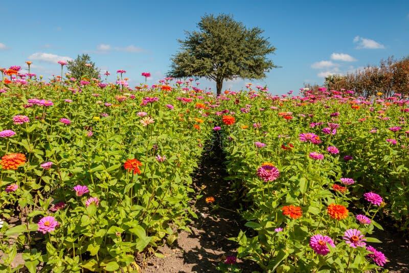 百日菊属和大丽花的领域 免版税库存图片