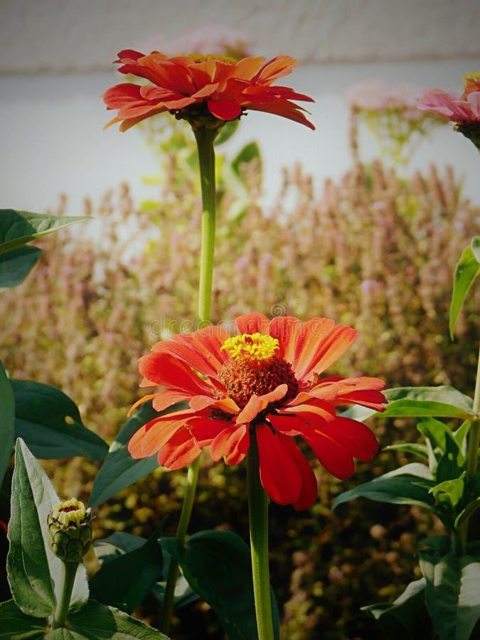 百日菊属在庭院里 免版税库存照片