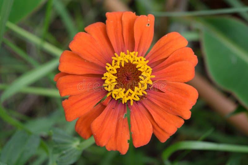 百日菊属在我的庭院里 图库摄影