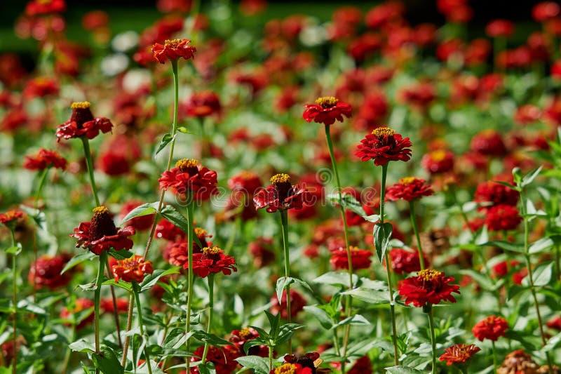 百日菊属开花的红色花在花圃的 免版税库存图片