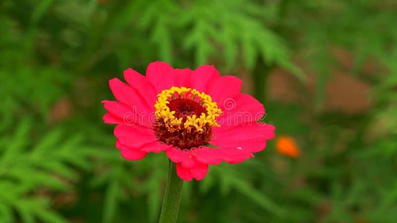 百日菊属秘鲁人可爱的庭院花  免版税库存图片