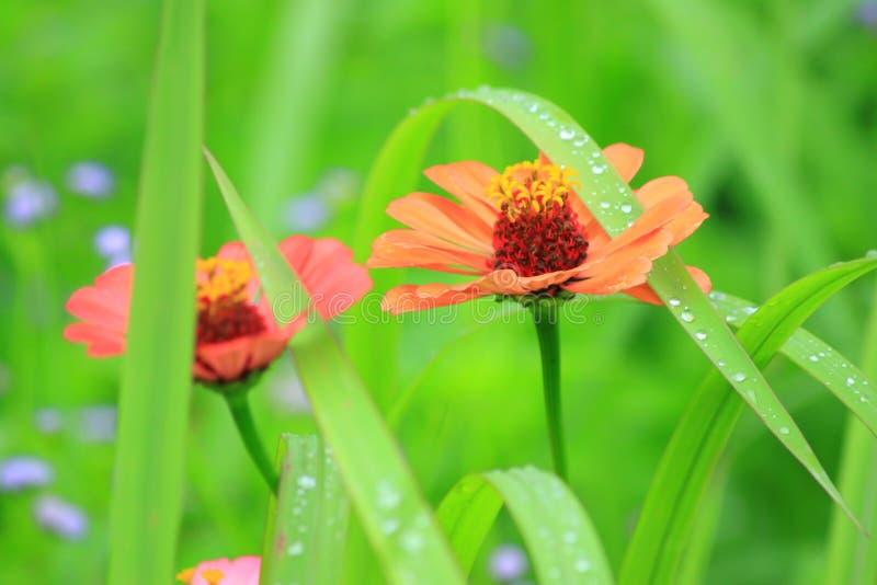 百日菊属红色花叶子自然庭院宏指令 图库摄影