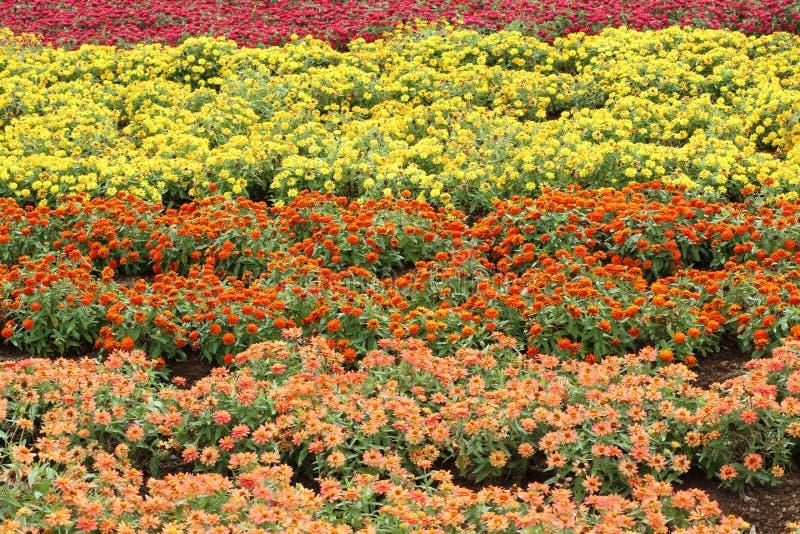 百日菊属花园  库存图片