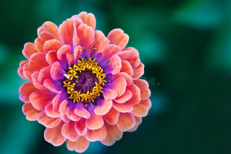 百日菊属花宏观视图摄影 被弄脏的绿色背景的典雅的红色紫罗兰色瓣植物 复制空间,浅 图库摄影