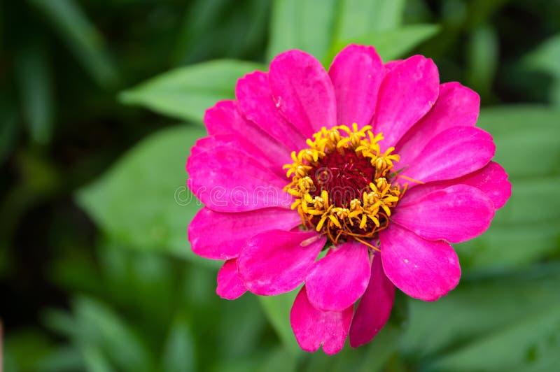百日菊属花,特写镜头自然视图 与百日菊属花的花背景在绽放 免版税库存图片