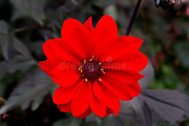 百日菊属颜色隔绝了,红色,特写镜头 免版税库存图片