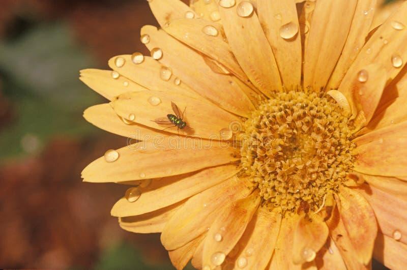 百日菊属细节在春天,坦帕, FL 免版税库存图片