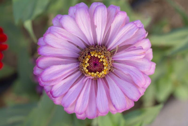 百日菊属Elegans紫色花或特写镜头在绿色叶子被弄脏的背景的庭院里  r 免版税图库摄影