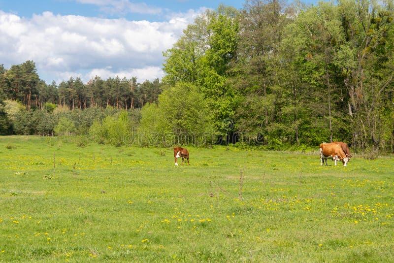 的一块绿色沼地吃草母牛的 免版税图库摄影