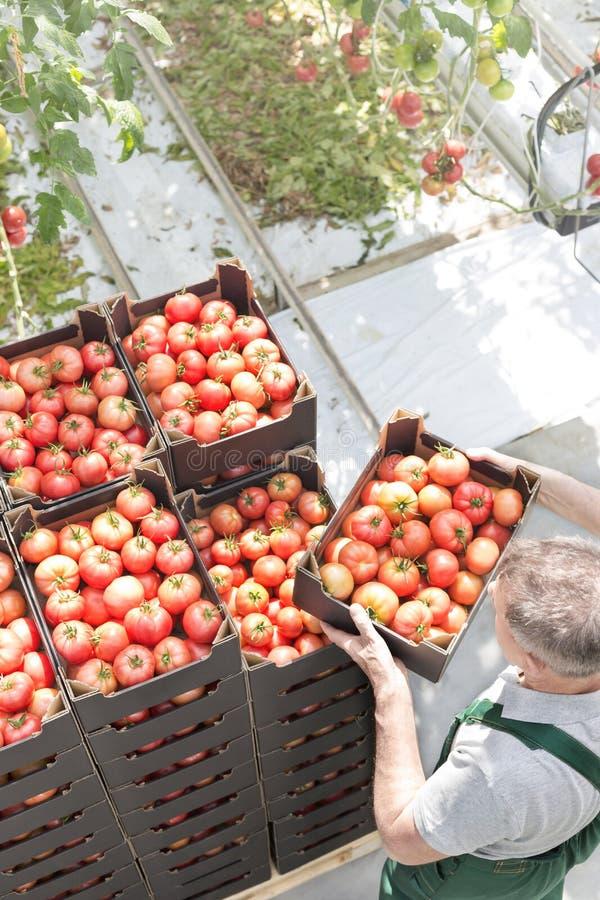 的人堆积蕃茄条板箱的大角度观点在温室 库存照片