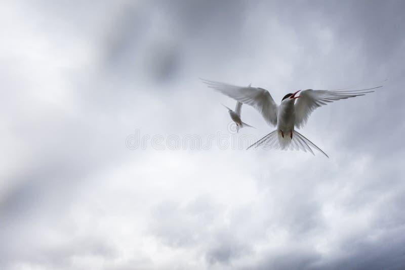 他们的伙伴孵化他们的鸡蛋,这些北极燕鸥朝向 库存图片