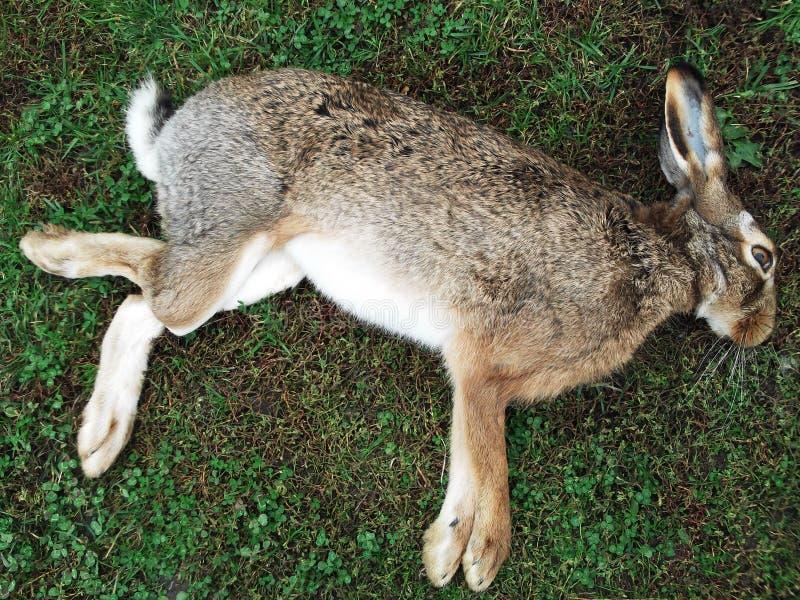 死的兔子照片  库存照片