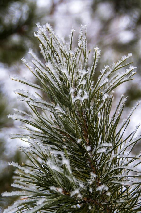 冻结的冬天杉木分支 库存照片