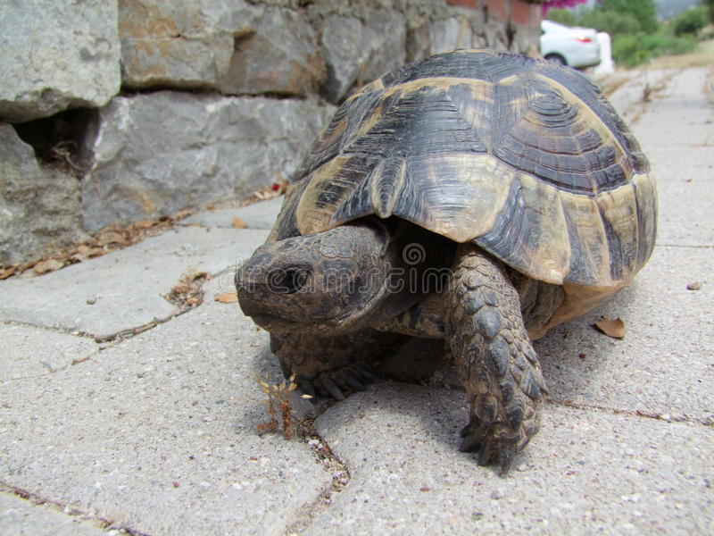 从他的壳出来的草龟 库存图片