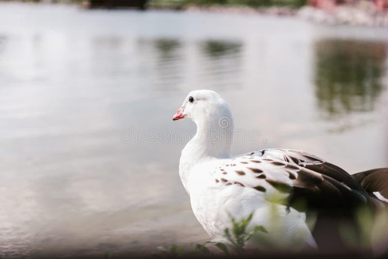 的安地斯山的鹅坐在水表面附近的接近的观点 库存图片