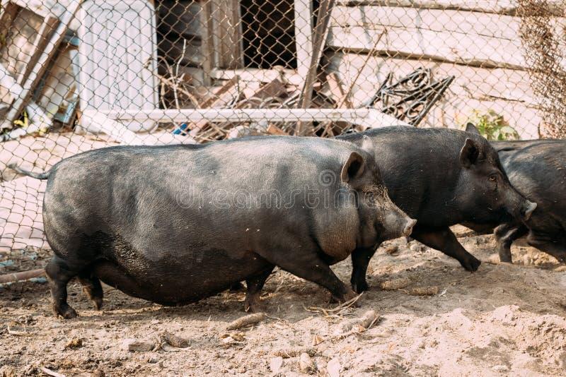 的家庭大黑猪在农场 养猪上升和 库存照片