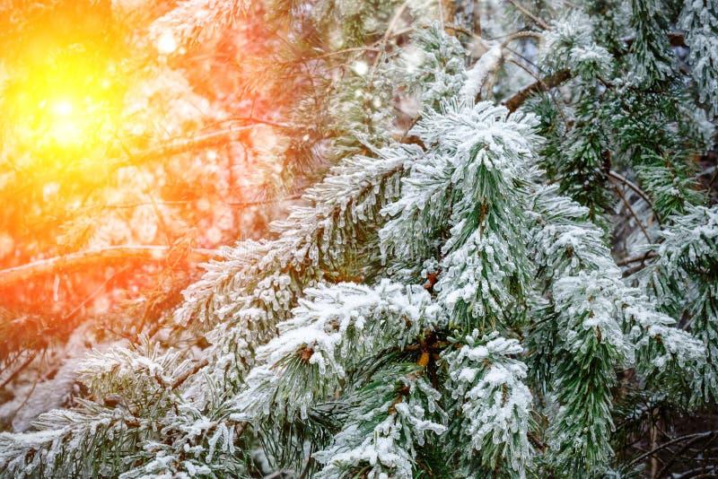 冻结的小滴在杉木针的冰 库存图片