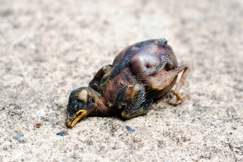 死的幼鸟是叮咬 免版税库存照片