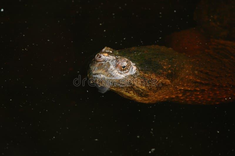 水的旭恩在鳄龟的 免版税库存图片