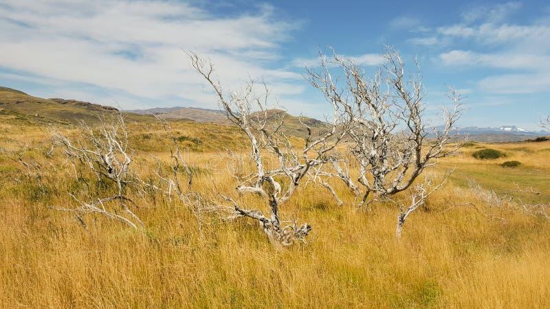 死的树、草地和山在托里斯del潘恩国家公园 免版税库存照片