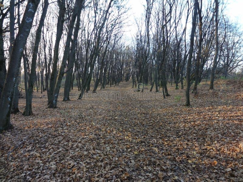 死的树丛,秃头山,森林,基辅,万圣夜 免版税库存图片