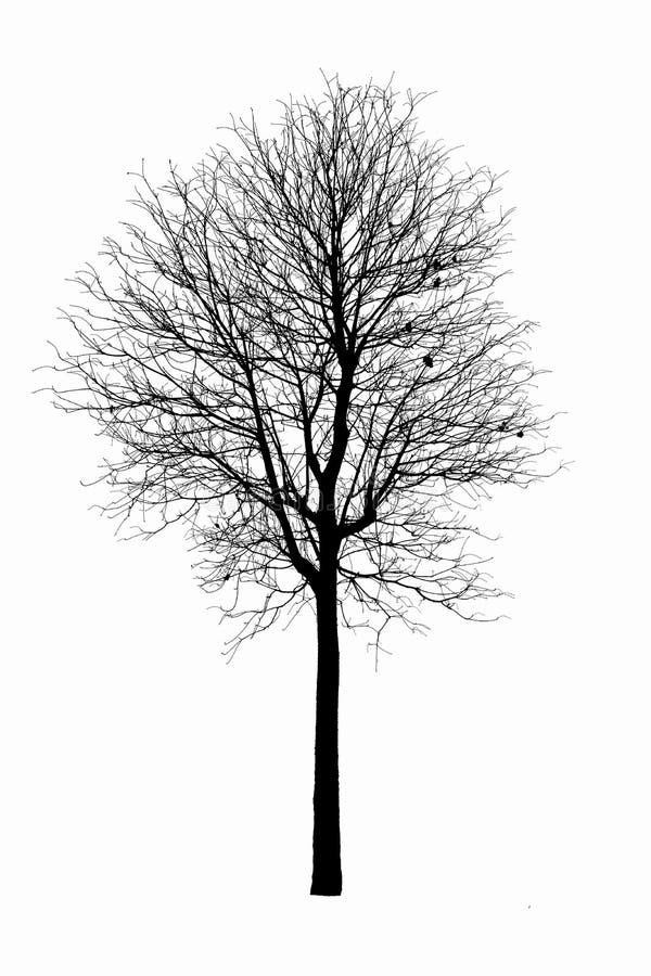 死的树剪影 没有在w隔绝的叶子的干燥橡木冠 免版税库存照片