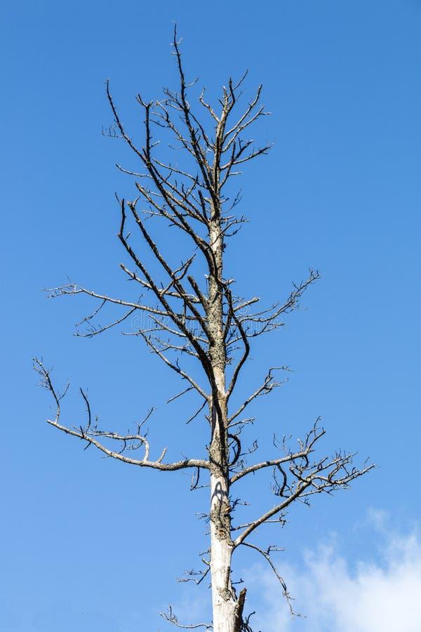 死的树和分支反对蓝天 库存图片