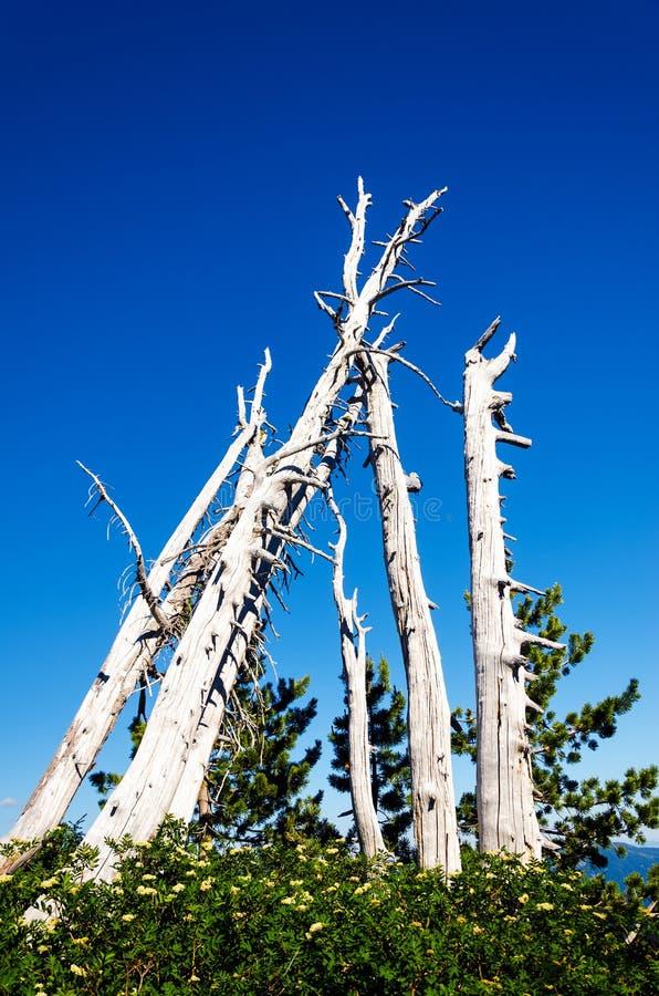 死的树树丛  库存图片