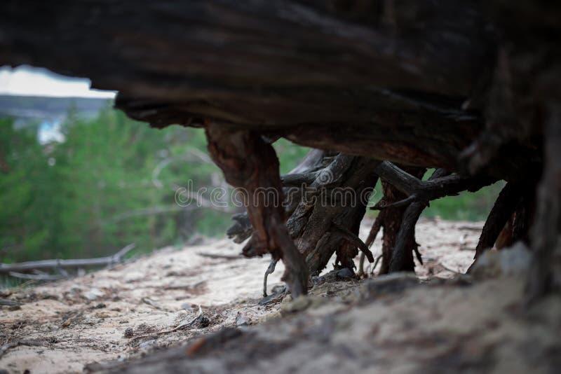Download 死的树桩树干燥根在森林里 库存图片. 图片 包括有 工厂, 没人, 室外, 砍伐森林, 环境, 结构树, 污染 - 72370569