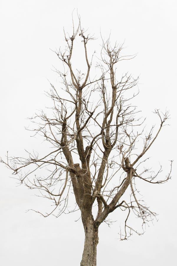 死的树,在白色背景隔绝的唯一老和死的树 免版税库存图片
