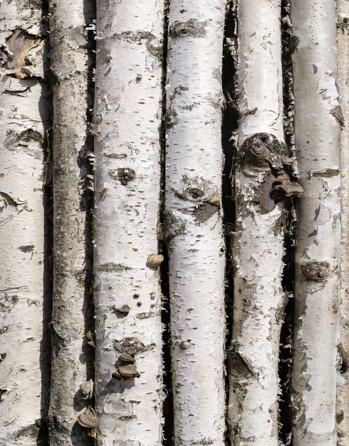 死的桦树树干  免版税库存图片