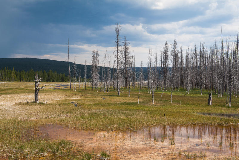 死的森林在黄石国家公园 免版税库存图片