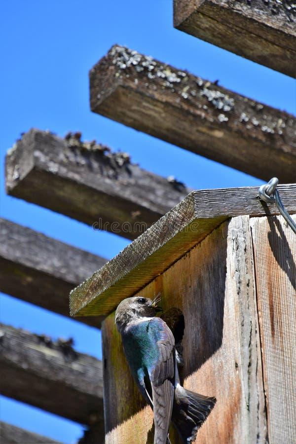 的燕子喂养婴孩的观点在鸟房子里 库存图片