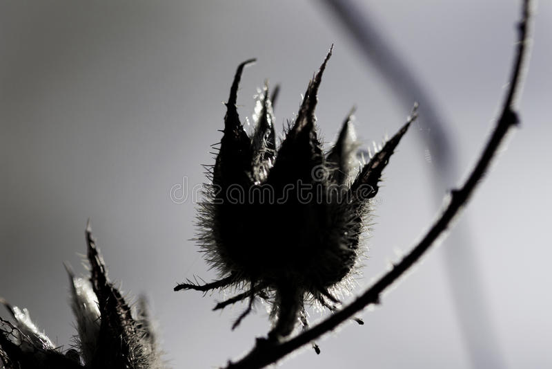 死的种子荚 库存图片